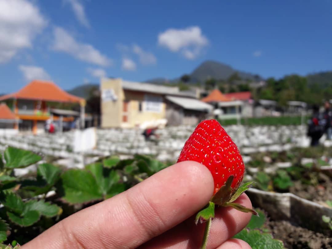 kebun Strawberry Sarangan